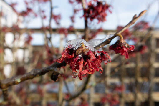 Close up of flowers of witch hazel, Hamamelis, covered in ice