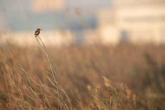 Common Kingfisher perched on tall grass, Bahrain