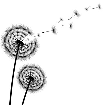 Black silhouette of a dandelion on a white background