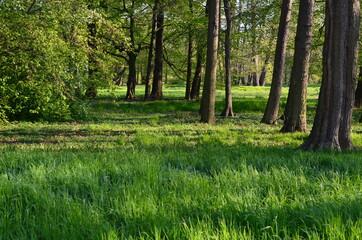 Obraz Wysokie parkowe drzewa wczesną wiosną - fototapety do salonu