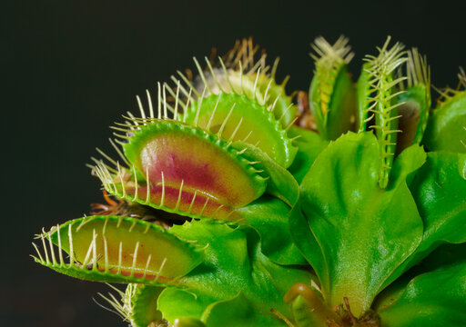 Venus flytrap is one of the carnivore plants