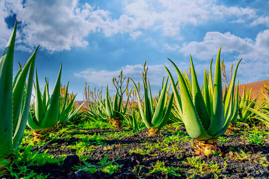 Aloe vera plant. Aloe vera plantation. Furteventura, Canary Islands, Spain
