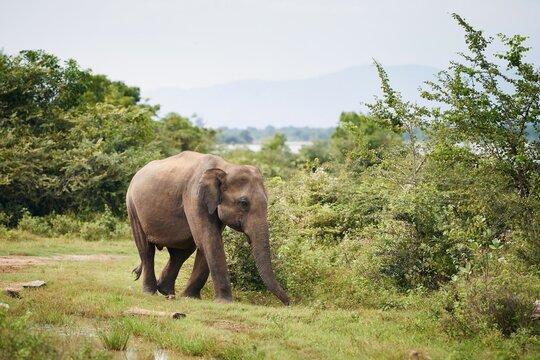 Elephant in the wild against green landscape. Wildlife animals in Sri Lanka.