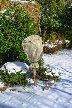 Rose bush is wrapped in fleece for the winter against frost. Baden Baden, Baden Württemberg, Germany, Europe