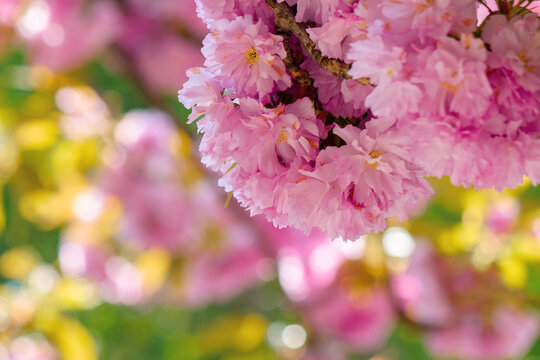 sakura blossom in sunlight. beautiful nature background in springtime. pink flowers in front of a blurry garden bokeh