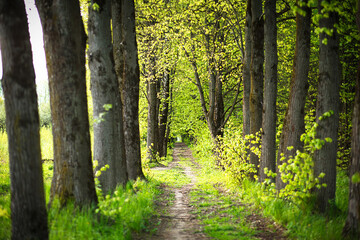 An alley of trees with young, fresh spring foliage. Naturalness, ecology, springtime. Copy space,...