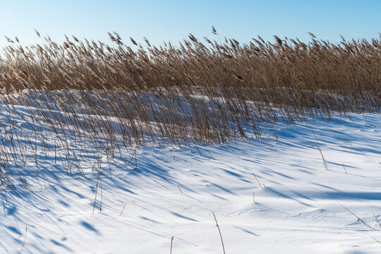 Reeds in a snowy wetland