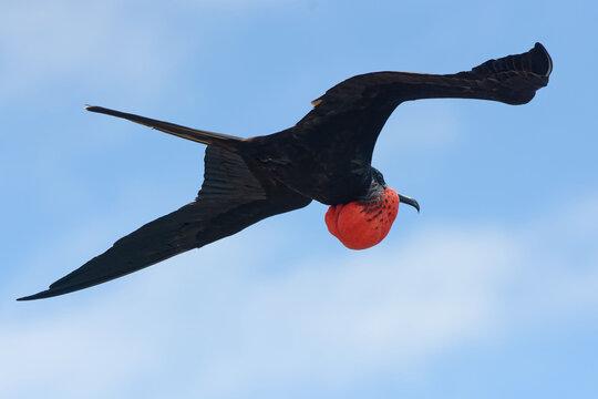 Male Magnificent frigatebird (fregata magnificens) in Galapagos Islands, Ecuador
