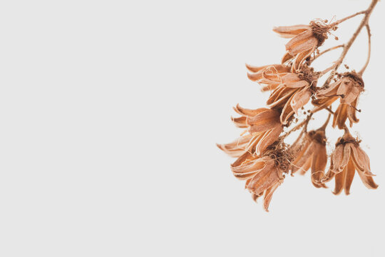 Branch of dry brown bell shape flowers on light background with place for text macro