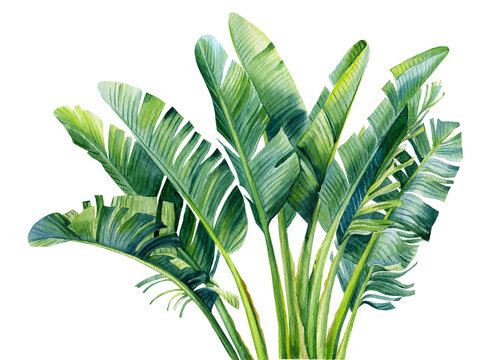 Banana palm, palm leaves, hand drawing, watercolor botanical painting