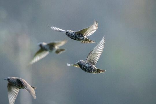 A flock of common starling birds Sturnus vulgaris migration in flight