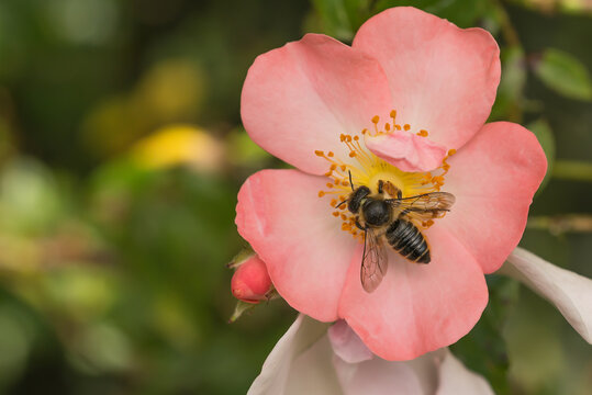 Leafcutter bee on  pinkOpen Arms rose