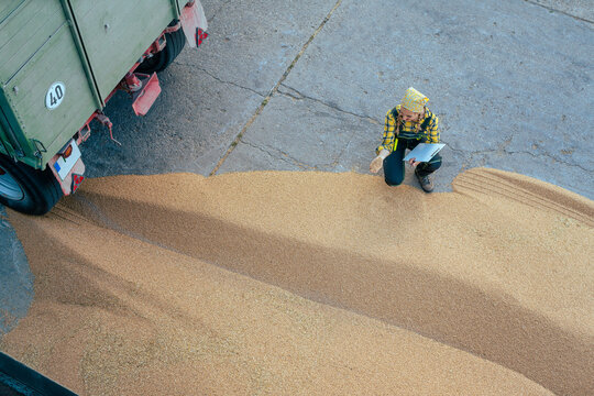 Grain being brought by tractor to the storage or granary
