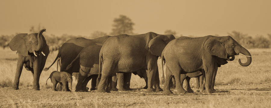 African Elephants group sepia