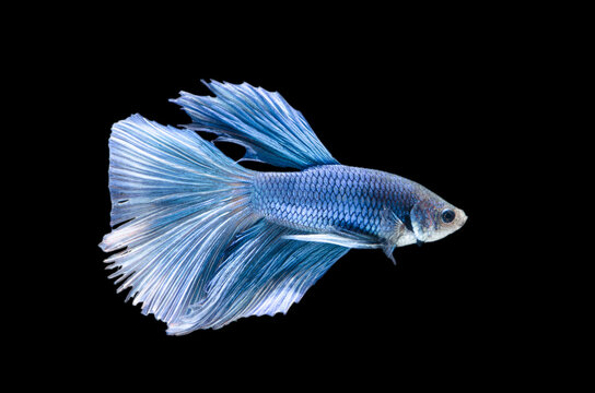 Beautiful movement and colors of blue Betta (siamese fighting fish) capture the moving moment beautiful of siam betta splendens fish in thailand. Isolated on black background.