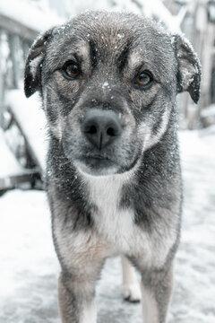 Portrait of a dark gray puppy on a snow background