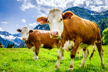 Wall Mural - cows at the eng alm in austria