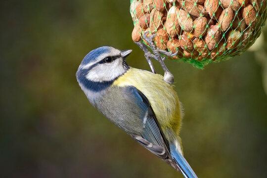 Blue tit close-up, bird hanging on a bag of peanuts