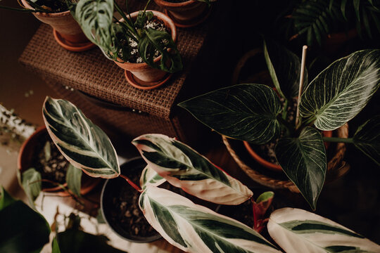 Collection of plants based in small millenials' rental flat: maranta, calathea, monstera, palm, ceropegia, epipremnum, philodendron, scindapsus, stromanthe