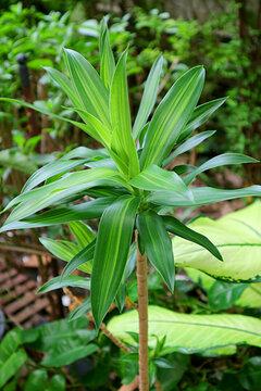 Beautiful Corn Plant or Dracaena Fragrans Growing in the Backyard