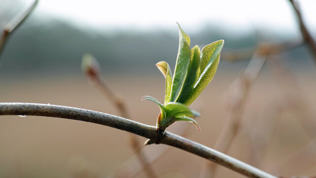 First signs of spring in the Netherlands. The branches are sprouting