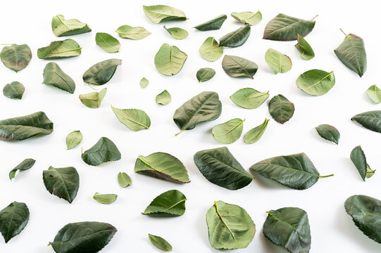 Plucked green leaves. Green leaves from a rose. Lots of green leaves on a white background.