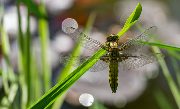Close-up of Broad-bodied chaser dragonfly female (Libellula depressa) with large transparent wings and honey brown color body sitting on grass on blurred green garden pond background. Macro of insect.