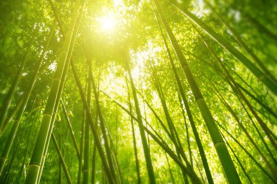 Green bamboo forest in the morning sunlight. Blurred nature background, selective focus.