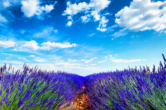 Lavender fields and the blue sky. Valensole, Provence, France. Beautiful summer nature background