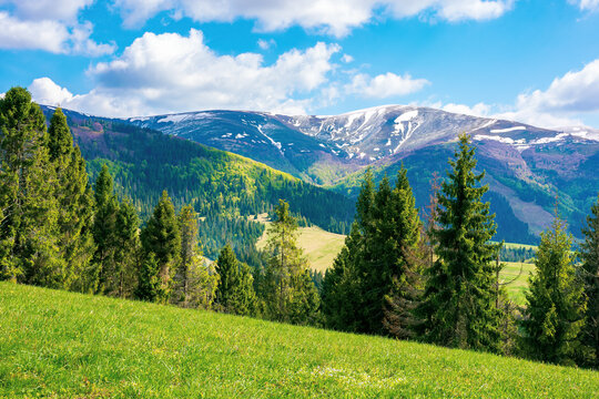 mountain landscape on a sunny day. beautiful alpine countryside scenery with spruce trees. grassy meadow on the hill rolling down in to the distant valley. clouds on the blue sky