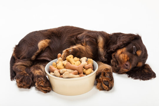 Cute Cocker Spaniel Puppy Dog Sleeping by Bowl of Bone Biscuits