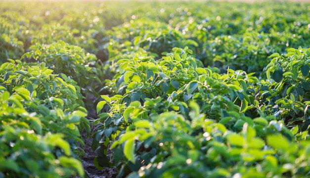 potato plant in the field.