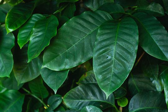 Coffea arabica green leraves