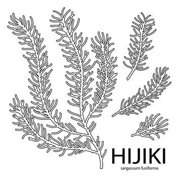 Vector line illustration of sargassum fusiform or hijiki seaweed, sea kale. Green or brown algae. Edible seaweed. Chinese, Korean or Japanese sea vegeatable used in cosmetics or food preparation.