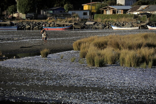 People walk near thousands of dead sardines washed up on the shores of the Laraquete river, in Laraquete
