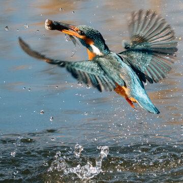 Hunting kingfisher bird with fish