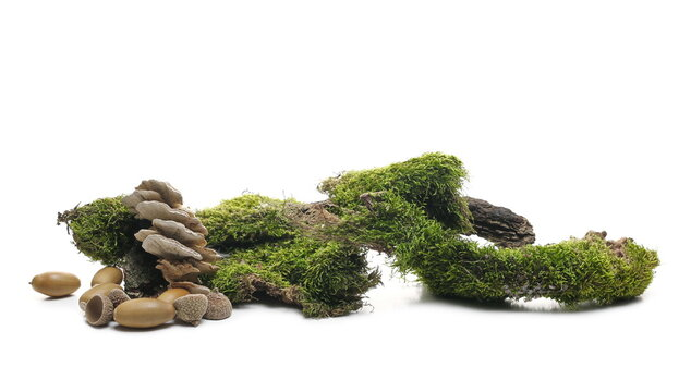Moss and fungus on tree bark, mossy wood with acorn pile isolated on white background