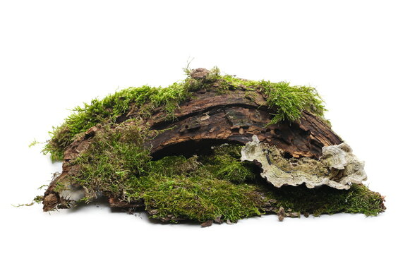 Moss and fungus on tree bark, mossy wood isolated on white background