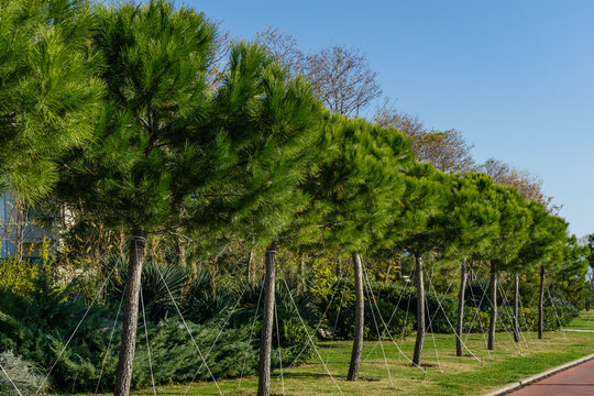 Row of young Italian Stone pine (Pinus pinea), umbrella or parasol pine on Olympic Embankment in in Sirius. New village in Imereti lowland near famous resort town Sochi in south of Russia.