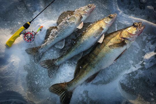 Fishing background. Trophy winter zander.
