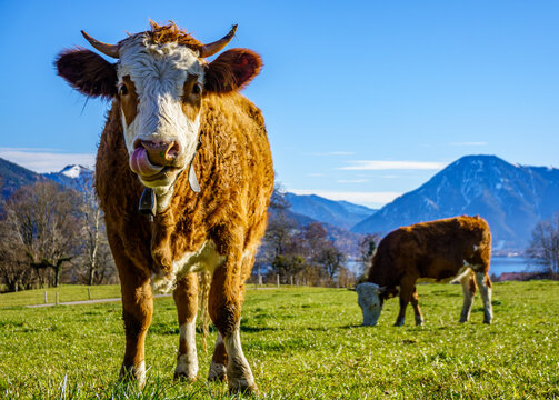 cow at the european alps