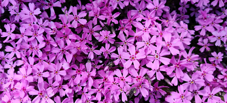 Closeup shot of beautiful flowers Phlox awl-shaped (Phlox subulata) in the garden