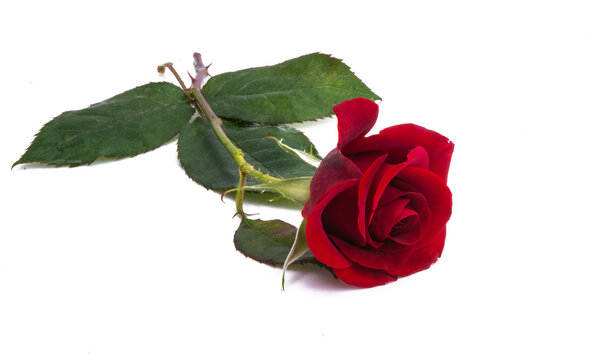 dark red rose isolated