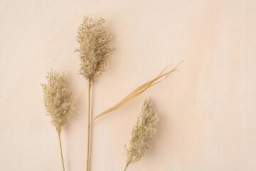 Dry reeds pampas grass on beige neutral background