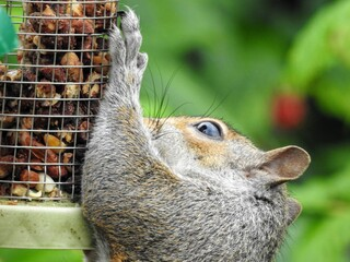 Close-up of an eastern gray squirrel (Sciurus Carolinensis) clinging to a hanging bird-feeder