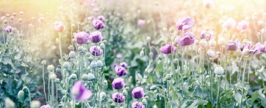 Poppy flower, flowering purple poppy flower in agricultural field, beautiful flower lit by sunset sunlight