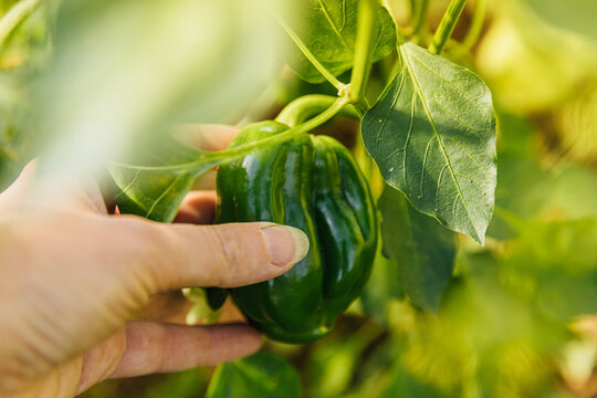 Gardening and agriculture concept. Female farm worker hand harvesting green fresh ripe organic bell pepper in garden. Vegan vegetarian home grown food production. Woman picking paprika pepper.
