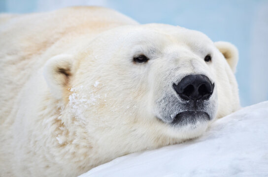 polar bear sleeping on the snow