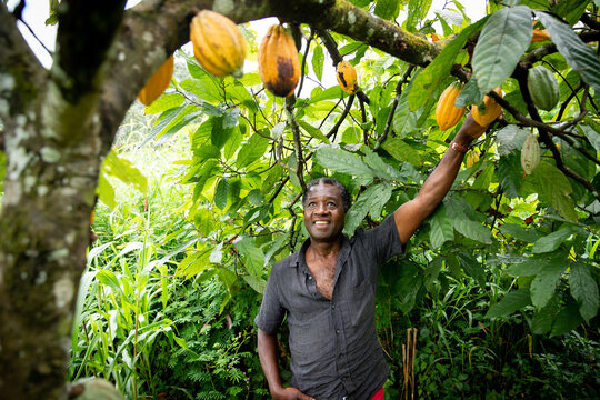 African farmer looks satisfied at his cocoa beans from the plants of his plantation