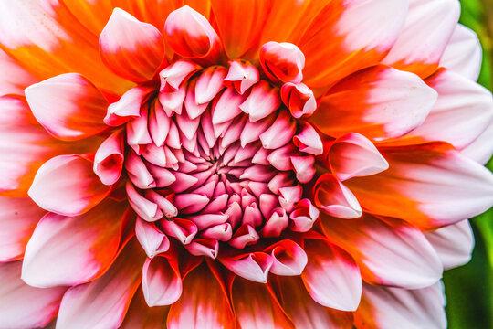 Orange White A La Mode Dahlia Blooming Macro